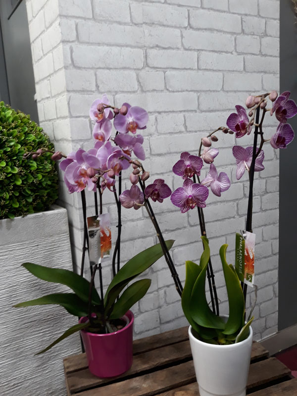 Orchidée phalaeopsis 3 branches